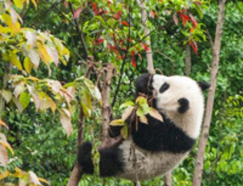 Come diventare un Panda? Seguitemi!